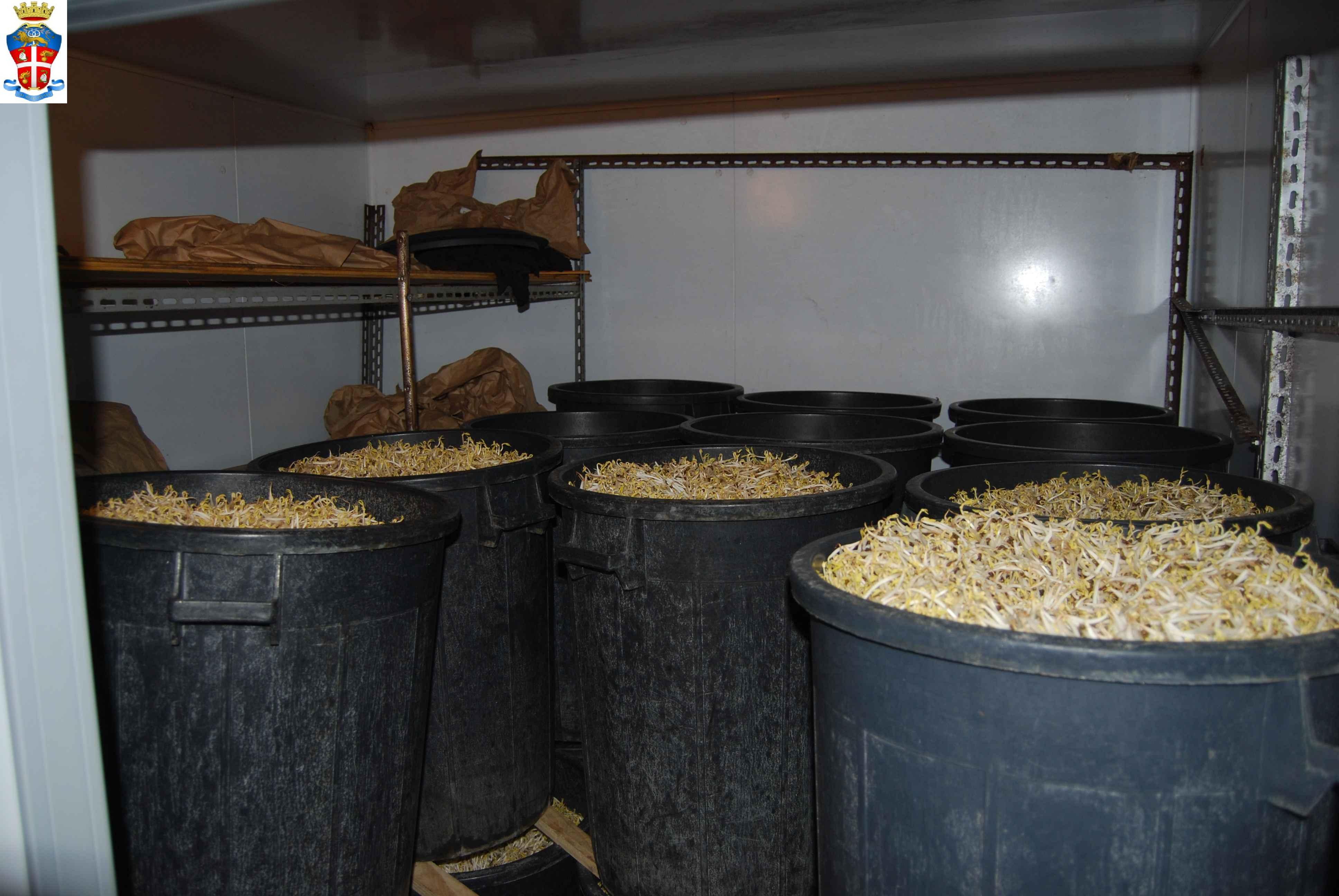 Bologna: maxi sequestro di germogli di soia