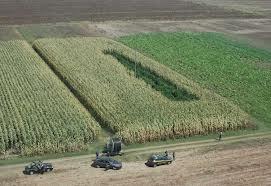Piantagione di marijuana in un campo di granturco, arrestato agricoltore a Latina